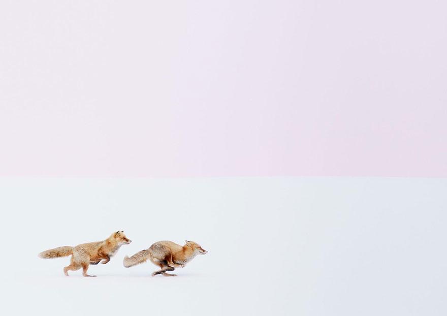 Лисици в снега (Япония)